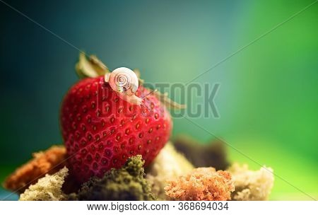 The Snail Sits On Strawberries, On A Rainbow Panzer. Macro Shooting.