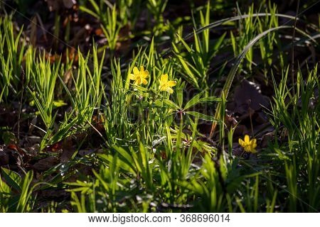 Yellow Flowers Of Anemone Ranunculoides (yellow Wood Anemone Or Buttercup Anemone) Plant Lit By The