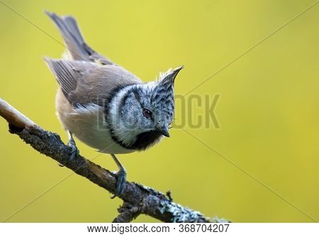 Dynamic European Crested Tit (lophophanes Cristatus) Front View Posing On An Little Lichen Covered B