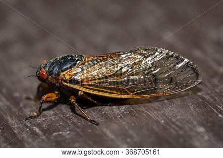 Side View Of Brood Ix 17 Year Cicada, Highlighting Translucent Wing Structure.