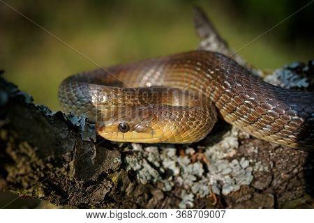 Aesculapian Snake - Zamenis Longissimus, Previously Elaphe Longissima, Nonvenomous Olive Green And Y
