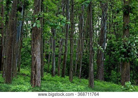 Teak (tectona Grandis) Forest, Nature View In India