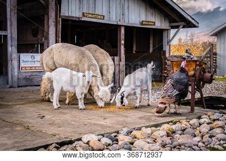 Salmon Arm, British Columbia/canada - October 23, 2016: Farm Animals At The Demille's Farm Market Pe