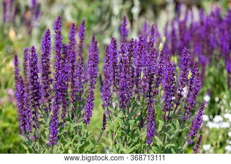 Purple Flowers Ajuga Spring In The Meadow
