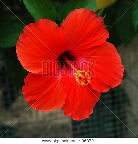 Flower Series - Hibiscus