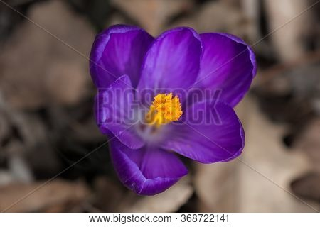 Close Up Of A Single Yellow Crocus Flower With Intentionally Blurred Background