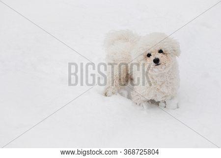 White Bichon Frise Puppy On A Soft White Snow In Winter. Cute Little Lap Dog, Sweet Pet. Monochrome