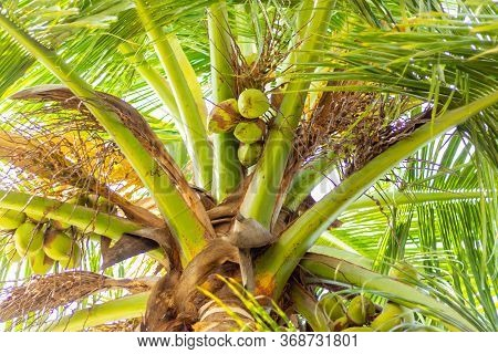 Green Coconut Tree With Bunch Of Coconuts And Flowers . A Tropical Forest. Asia, India. Green Palm T