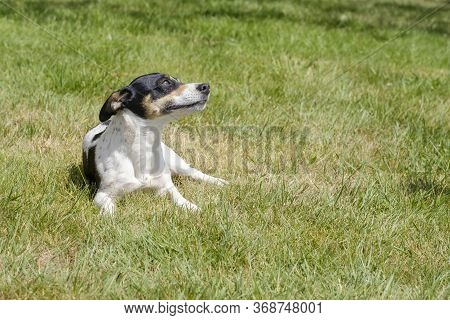 Black And White Jack Russell Terrier Pup Lying In A Field, Shadow In Grass