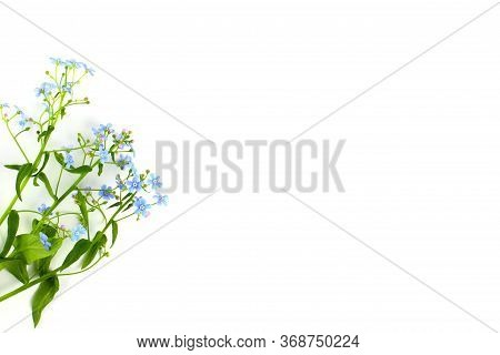 Scorpion Grasses Or Myosotis Bouquet Closeup On A White Background, Blue Flowers With Greenery, Isol
