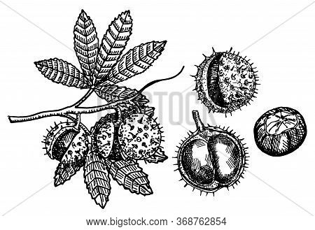 Chestnut Set Of Vector Sketches On White Background. Chestnut Branch With Fruits. Botanical Drawing.