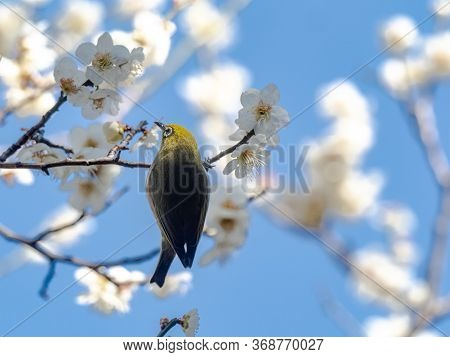 A Japanese White-eye, Also Called A Warbling White-eye Or Mountain White-eye, Zosterops Japonicus, P