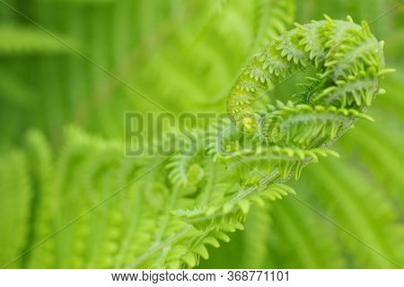 Blooming Fern Head Close-up. Stalks And Leaves. Natural Backdrop Or Wallpaper. Light Green Floral Tr