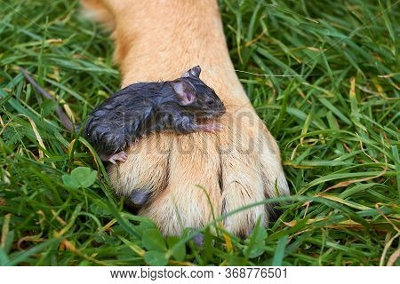 Dog Rescued The Mouse, Little Mouse Sitting On The Paws Of A Large Dog, A Wet Mouse Rescued By A Dog