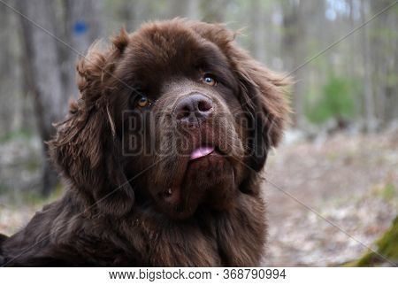 Humorous Newfoundland Puppy Dog With His Tongue Peaking Out.