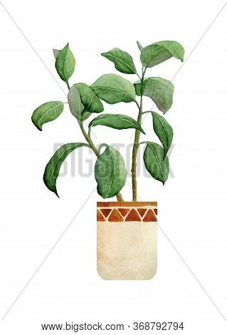 Watercolor Hand Drawn Illustration Of Fresh Rubber Ficus Plant. For Interior Design Nature Lovers Fl