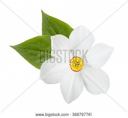 White Narcissus Flower With Green Leaves Isolated. Item For Decoration, Greeting Cards, Packaging, S