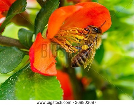 Honey Bee Collects Pollen And Nectar From Red Quince Flowers In Spring. A Bee Pollinates Plants And