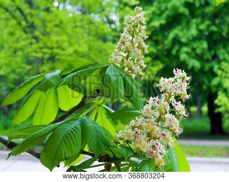 Spring Blooming Chestnut Flowers On A Branch Close-up. White Chestnut Flowers Photographed Against A