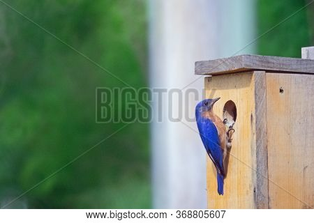 A Bluebird Pauses At The Entrance To Check On The New Hatchlings.
