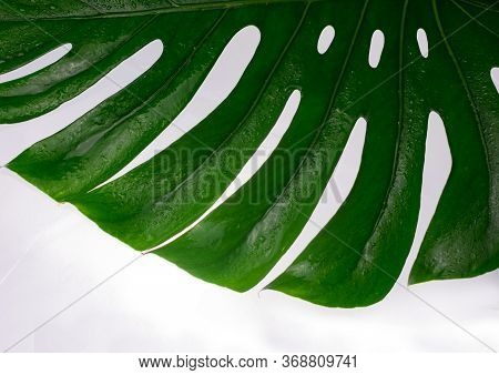 Tropical Leaf Of Monstera On A White Background. Part Of A Sheet Of Monstera. Copy Space.