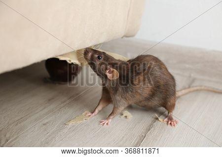 Rat Near Damaged Furniture Indoors. Pest Control