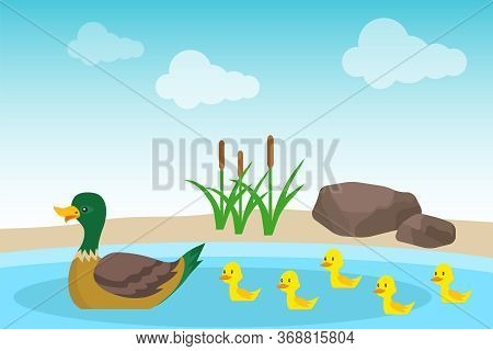 A Wild Duck With Ducklings Swims In A Pond Against A Background Of Stones And Green Reeds. Illustrat