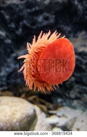Red Beadlet Anemone Sticking To A Glass Window In An Aquarium In Copenhagen. Close View At Beautiful
