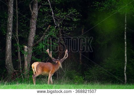 Deer With Antlers In Forest. Hunting Background. Summer Scene With Wild Deer. Wildlife.
