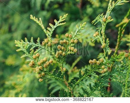 Thuja Occidentalis Is An Evergreen Coniferous Tree, In The Cypress Family Cupressaceae. Macro Of Cyp