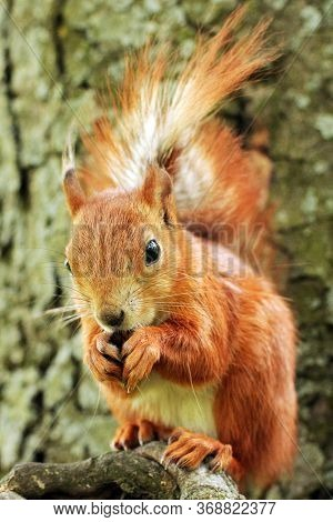 Sciurus. Rodent. The Squirrel Sits On A Tree And Eats. Beautiful Red Squirrel In The Park