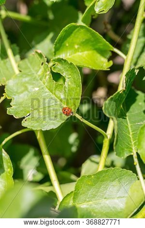 Ladybug Sitting On Green Leaf. Close Up Of Ladybug On Green Leaf. Concept Of Wildlife.