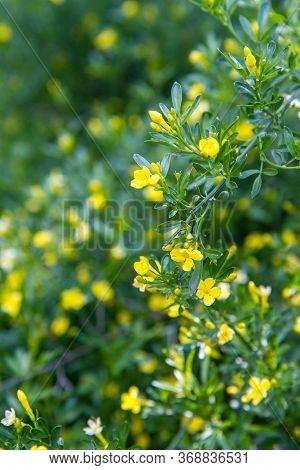 Jasminum Beesianum Plant Blooming In Close Up