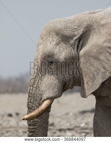 Closeup Portrait Of Big Male African Elephant With Large Tusks And A Wrinkled Trunk