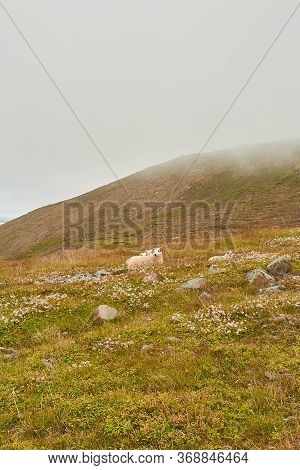 Wilderness. Icelandic Sheep Grazing On A Pasture In Iceland. Typical Iceland Sheep With Horns And A