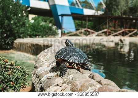Beautiful Turtle Resting Under The Sun On A Pond Border In A Public Park In Marbella, Spain. Capture