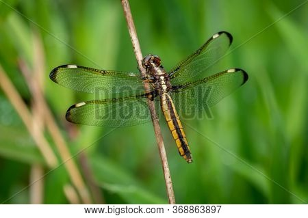 A Female Spangled Skimmer Perches On A Twig. North Carolina.