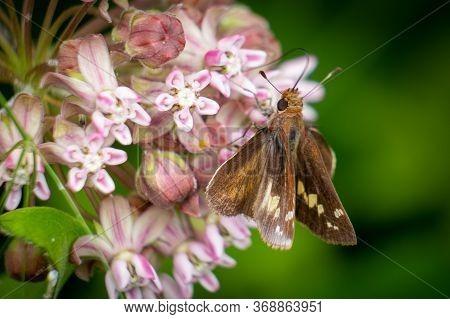 A Female Zabulon Skippier Feasts On The Sweet Nectar Of Milkweed Blooms.