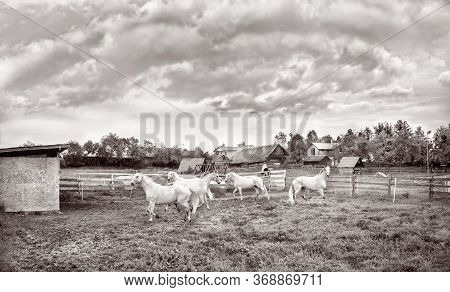 Four White Horses In The Farmyard In Spring.lithuania.