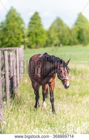 Beautiful Horse In The Farm Meadow In Spring.