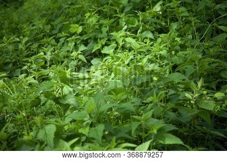 A Selective Focus Shot Of Green Plant Field Of Nettles