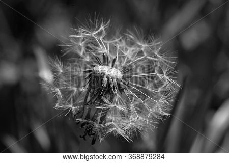 A Grayscale Selective Focus Shot Of White Dandelion Head