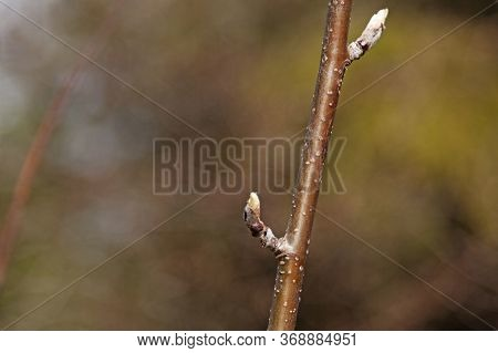 Birch Stick With The First Leaves Trying To Emerge