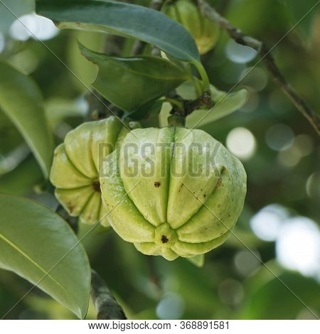 Garcinia Gummi-gutta Is A Tropical Species Of Garcinia Native To Indonesia. Common Names Include Gar