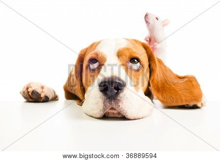 poster of The dog and rat look in top isolated on a white background