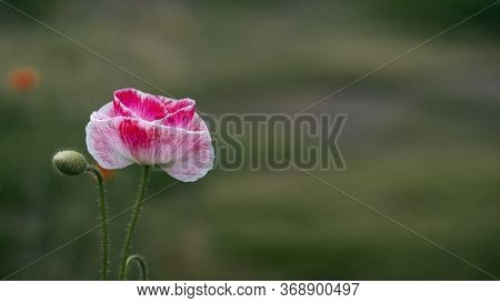 Contrast Colors In Poppy.pink Poppy.bright Green Background In Poppy.a Rare Color Of A Blooming Flow