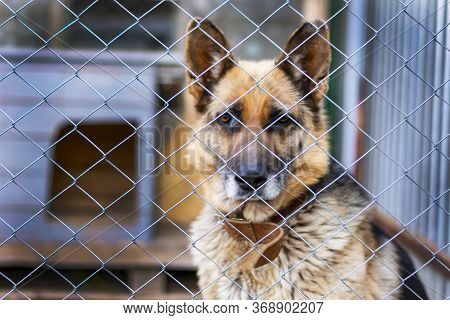 Large Adult East European Shepherd In A Cage. Dog In The Aviary Guards. A Beautiful Look To The Side