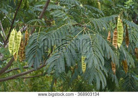 Silktree (albizia Julibrissin).called Mimosa, Persian Acacia, Persian Silk Tree, Pink Silk Tree, Len