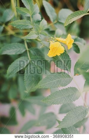 Vertical Background With Tecoma Plant Or Trumpet Bush. Shrub With Yellow Flowers And Green Leaves