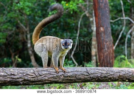 Some Brown Lemurs Play In The Meadow And A Tree Trunk And Are Waiting For The Visitors